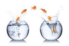 Goudvis springt over naar nieuwe vissenkom